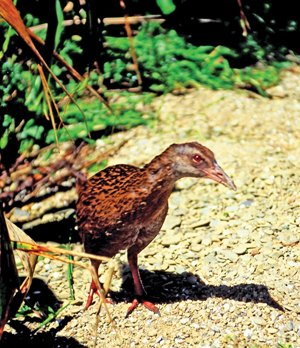 Marlborough_Sounds_Weka.jpg